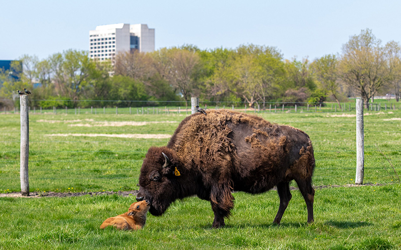 Bison and baby bison
